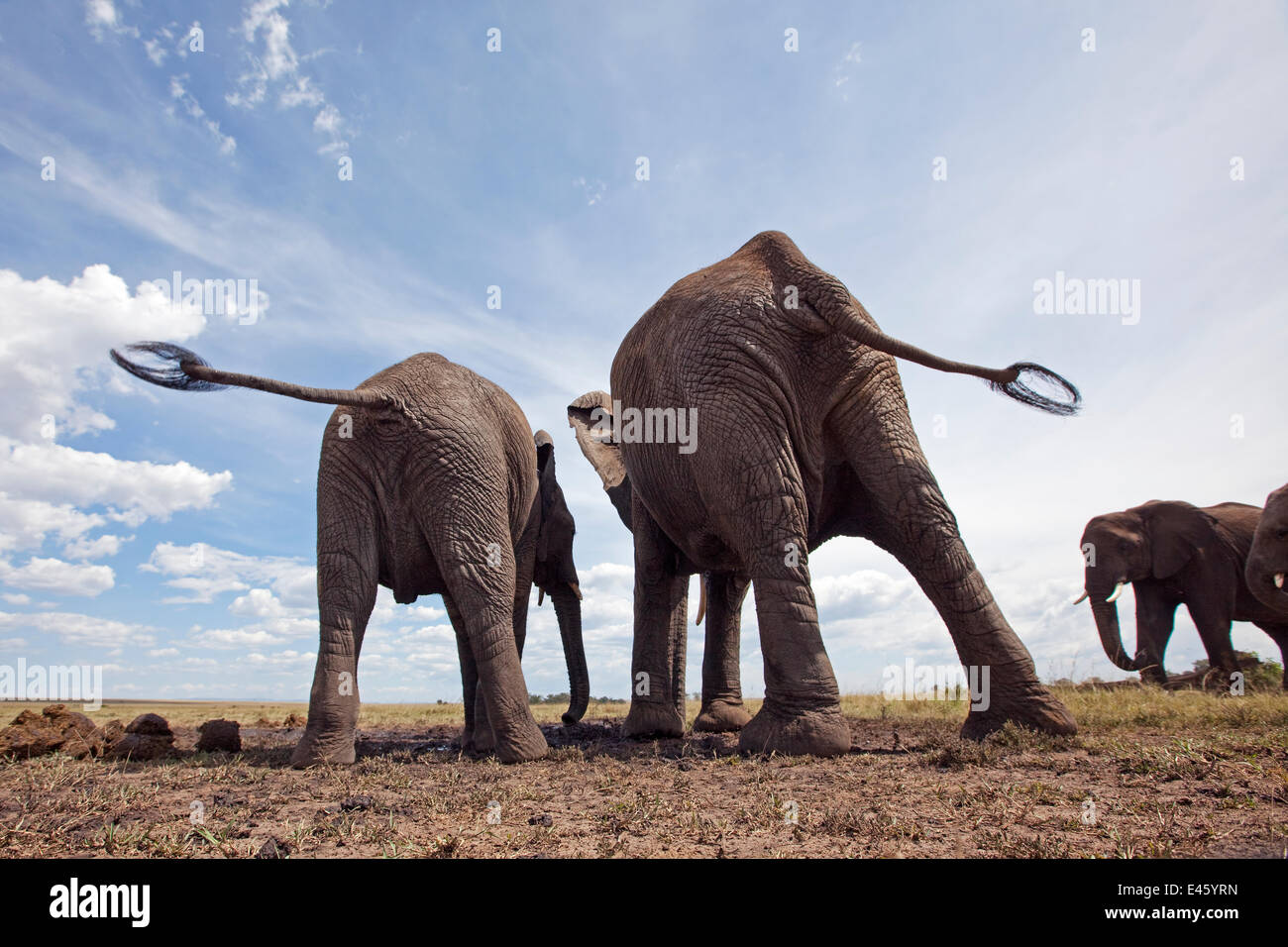 L'elefante africano (Loxodonta africana) Vista posteriore, bere in corrispondenza di un foro per l'acqua, Immagini Stock