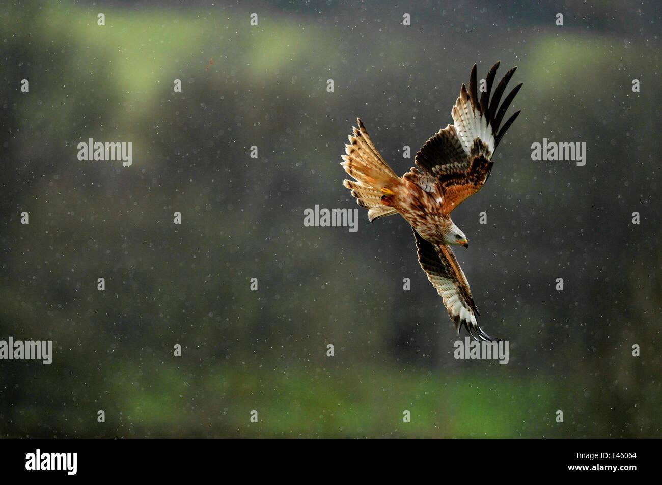 Nibbio reale (Milvus milvus) battenti in una doccia a pioggia. Dumfries and Galloway, Scozia, Giugno Foto Stock