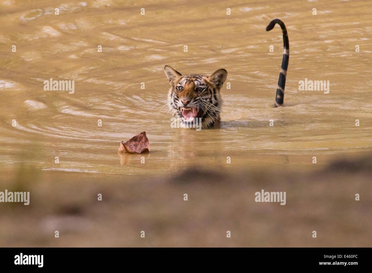 Giovani tigre (Panthera tigris), 22 mese, essendo spaventati da una foglia morta. Banghavgarh National Park, India, Immagini Stock