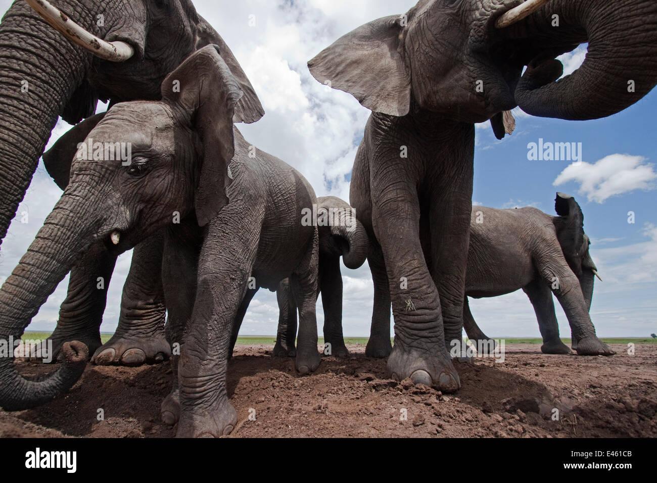Elefante africano (Loxodonta africana) gruppo di bere da waterhole - ampio angolo di prospettiva. Masai Mara riserva Immagini Stock