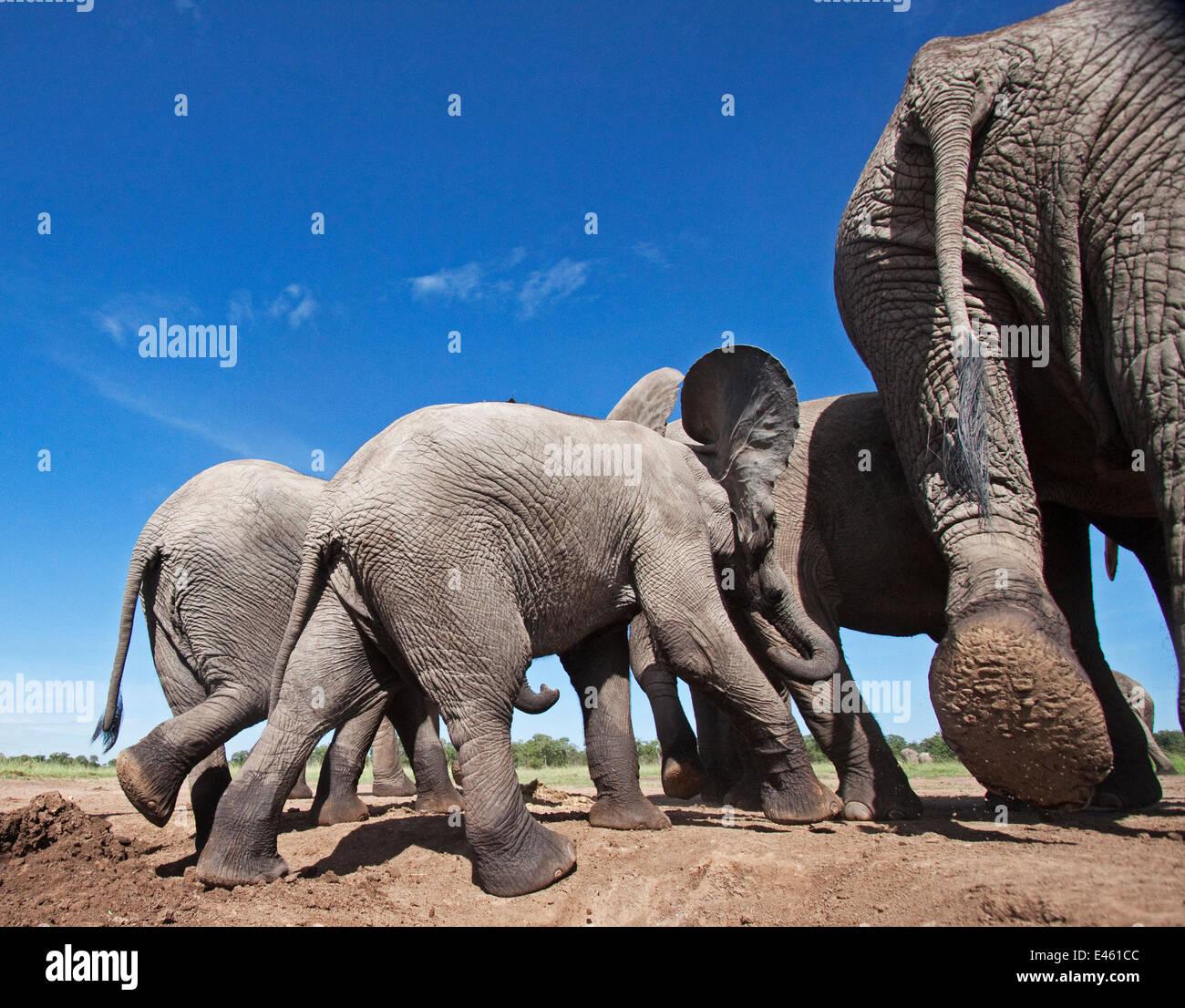 Elefante africano (Loxodonta africana) gruppo lasciando un waterhole - ampio angolo di prospettiva. Masai Mara riserva Immagini Stock