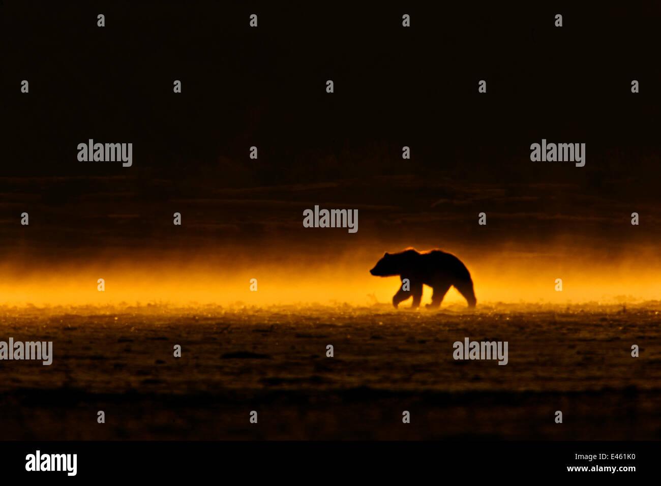Orso grizzly (Ursus arctos) in movimento in tarda serata luce dopo heavy rain. Alaska, USA, Giugno. Immagini Stock