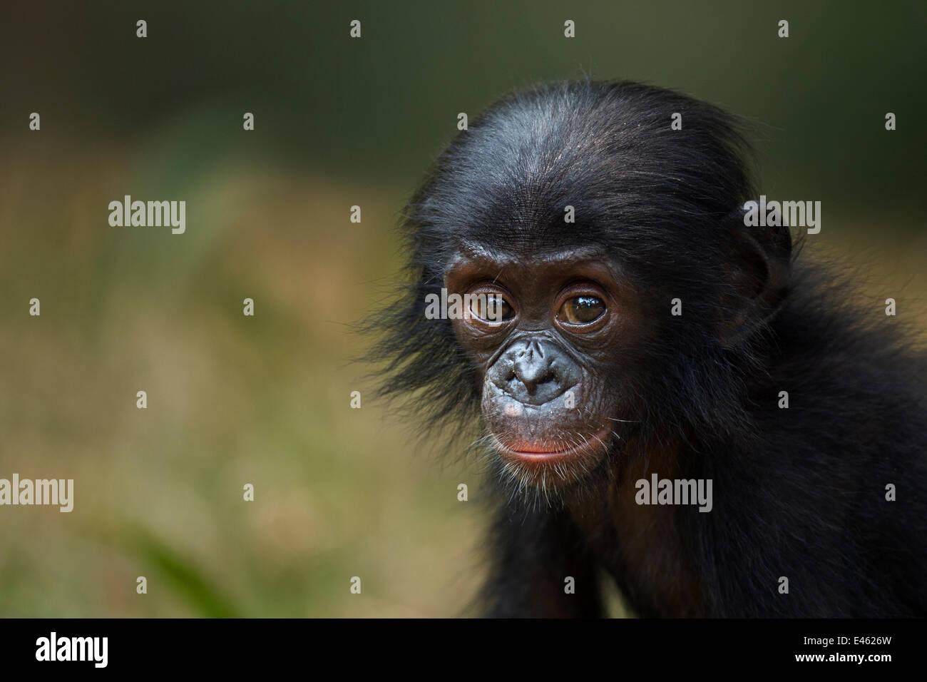 Bonobo (Pan paniscus) maschio baby 'Ombwe' di età compresa tra 1 anno, ritratto, Lola Ya Bonobo Santuario, Immagini Stock