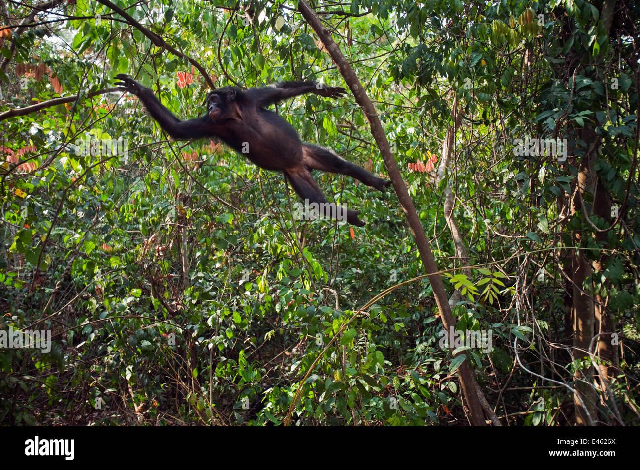 Bonobo (Pan paniscus) adolescente di sesso maschile che saltava attraverso gli alberi, Lola Ya Bonobo Santuario, Immagini Stock