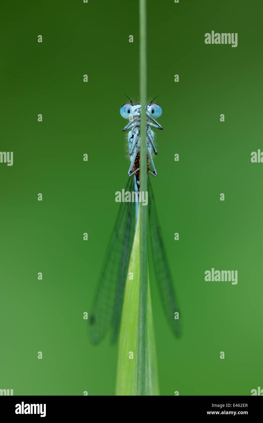 Damselfly variabile (Coenagrion pulchellum) sulla levetta reed, Brackagh Moss NNR, Portadown, nella contea di Armagh, Immagini Stock