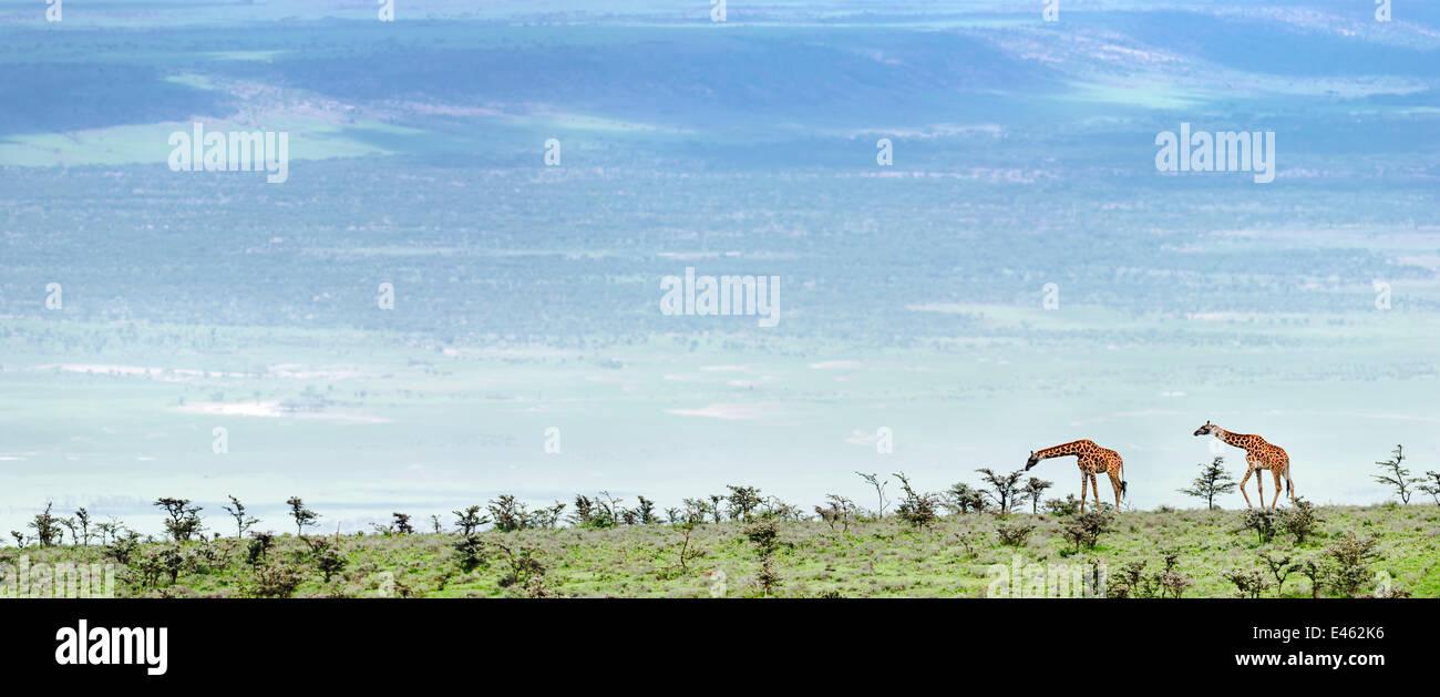 Masai Giraffe (Giraffa camelopardalis) nelle pianure aperte navigando sibilo Thorn acacia (acacia drepanolobium). Immagini Stock