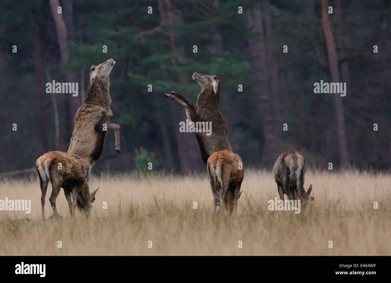 Red Deer stags lotta con le loro gambe anteriori quando il nuovo corna crescono sulle loro teste Foto Stock