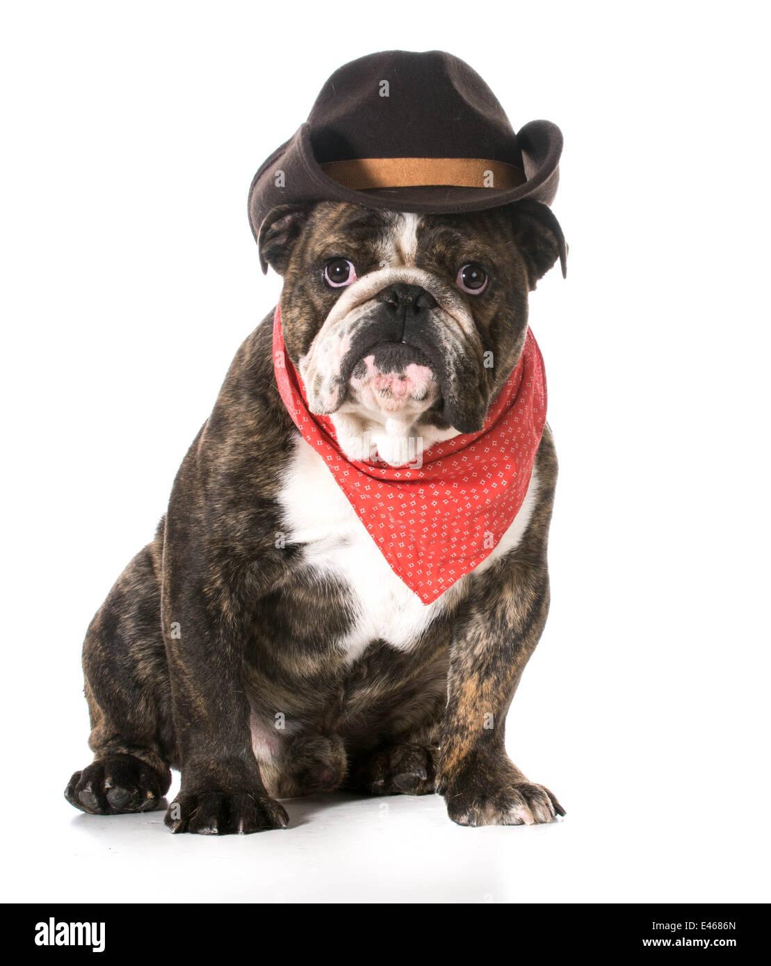 Paese cane - Bulldog inglese indossa red bandana e cappello da cowboy su  sfondo bianco Immagini 979271269877