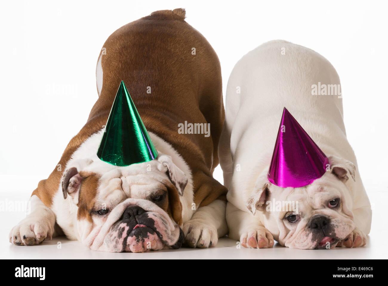 Compleanno cane - due Bulldog inglese indossando cappelli di compleanno su  sfondo bianco Immagini Stock ec89115584ed