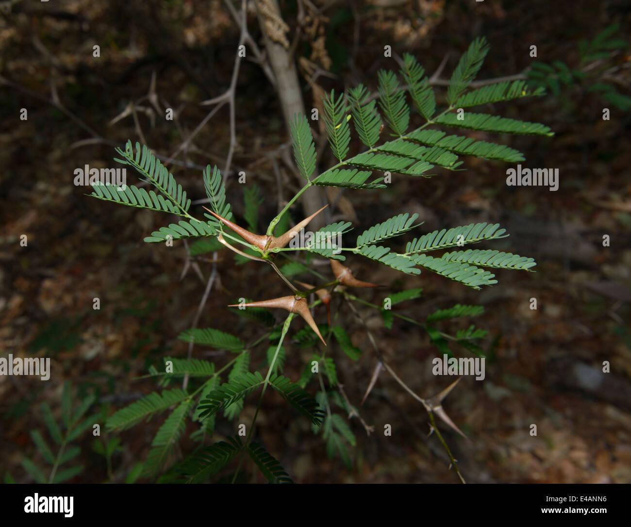 Bullhorn acacia, Vachellia cornigera, Santa Rosa e il Parco Nazionale di Guanacaste, CR Immagini Stock