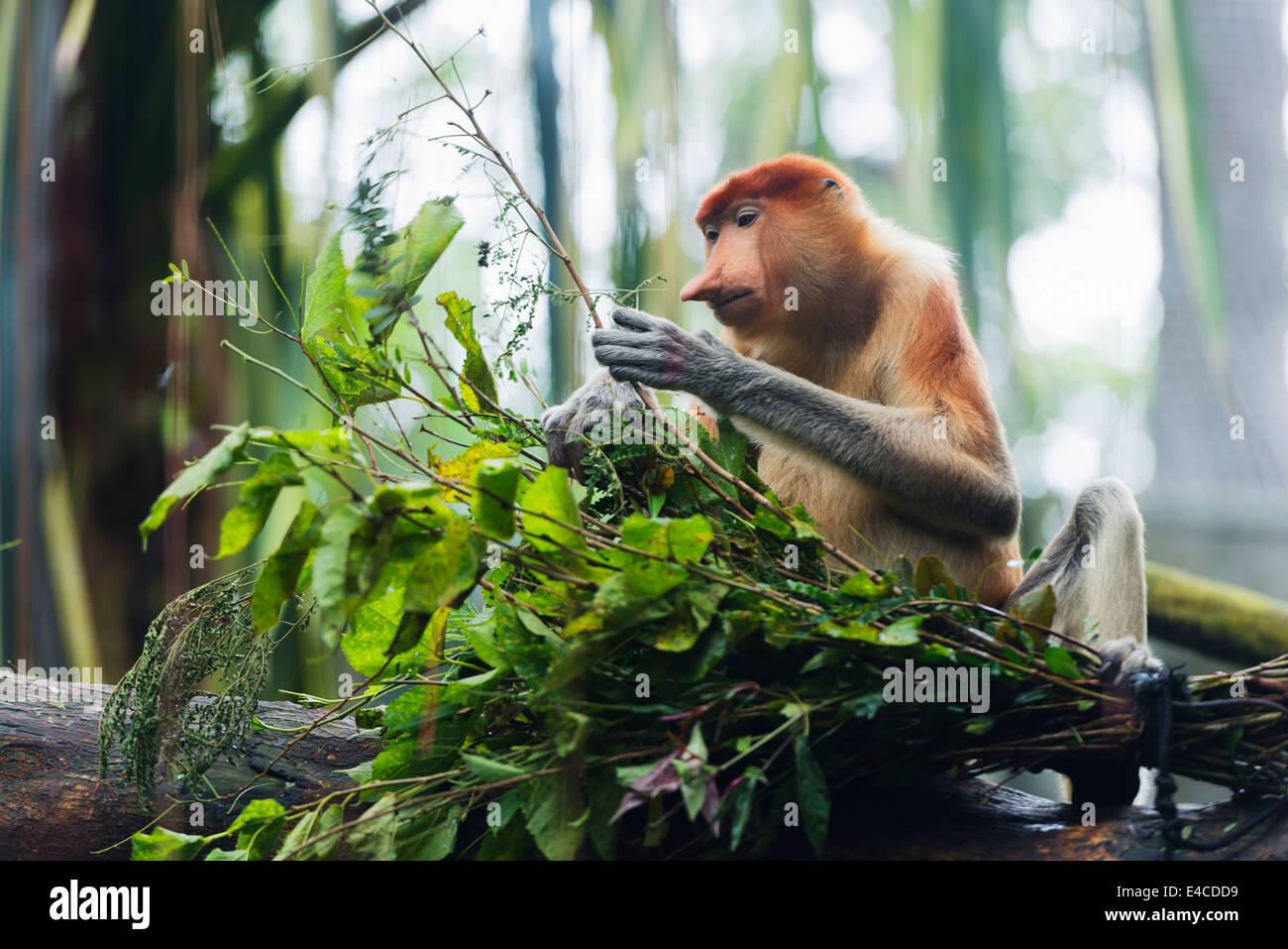 Il Sud Est asiatico, Singapore, Singapore Zoo, proboscide scimmia, Nasalis larvatus Immagini Stock