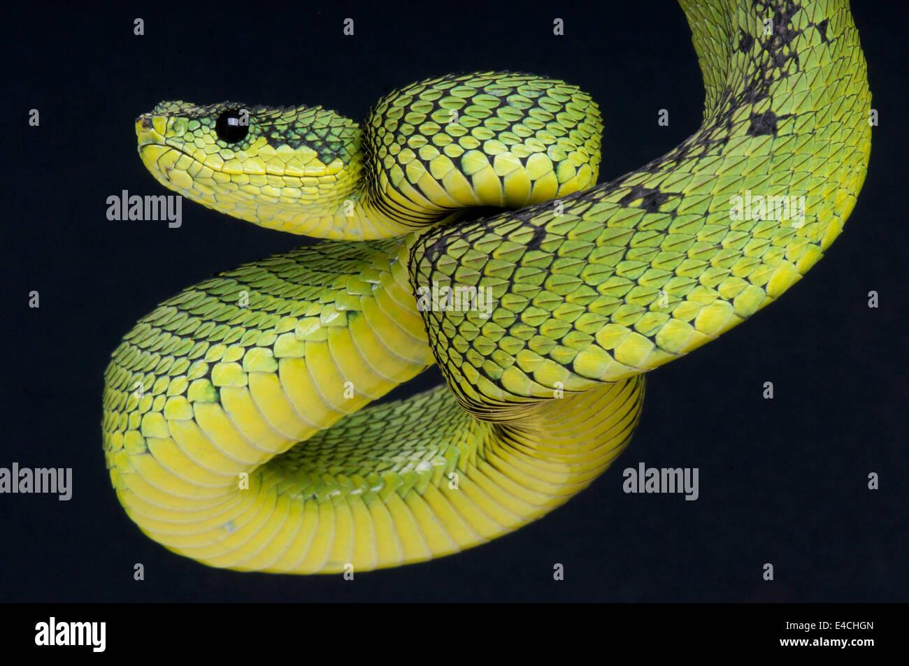 Grandi laghi bush viper / Atheris nitschei Immagini Stock
