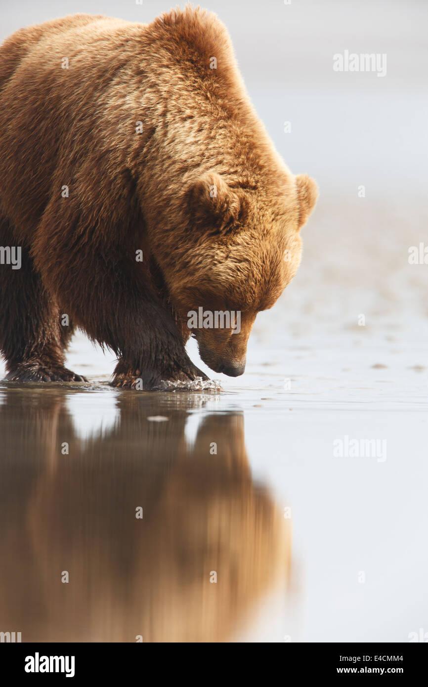 Marrone / Orso grizzly, il Parco Nazionale del Lago Clark, Alaska. Immagini Stock