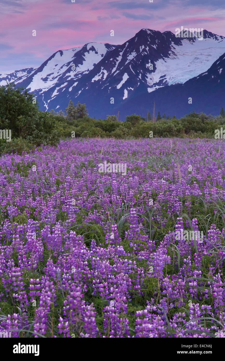 Campo di fiori selvatici di lupino lungo Turnagain Arm, Chugach National Forest, Alaska. Immagini Stock