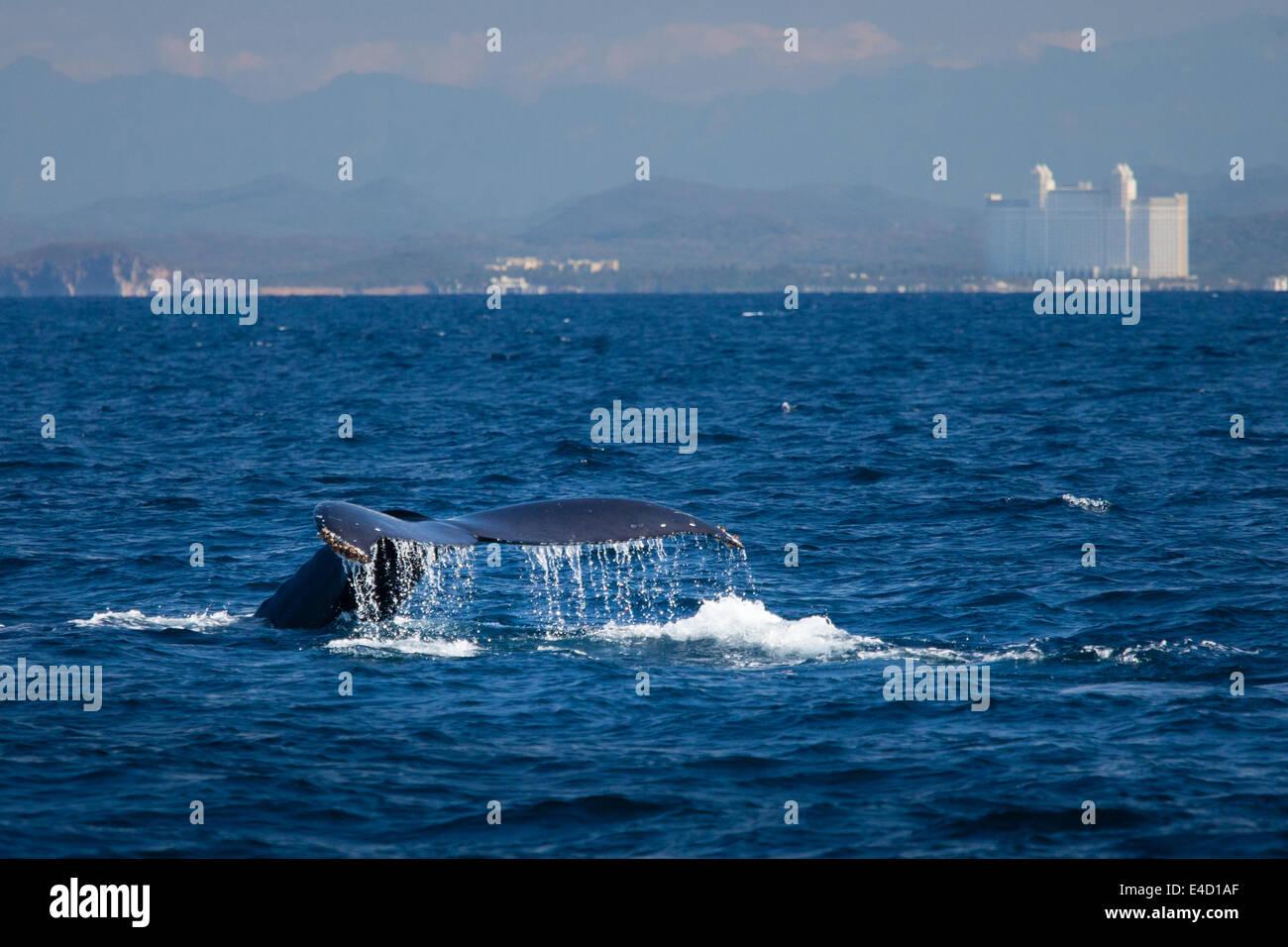 La coda di una megattera scompare in mare nei pressi di Mazatlan, Sinaloa, Messico. Immagini Stock