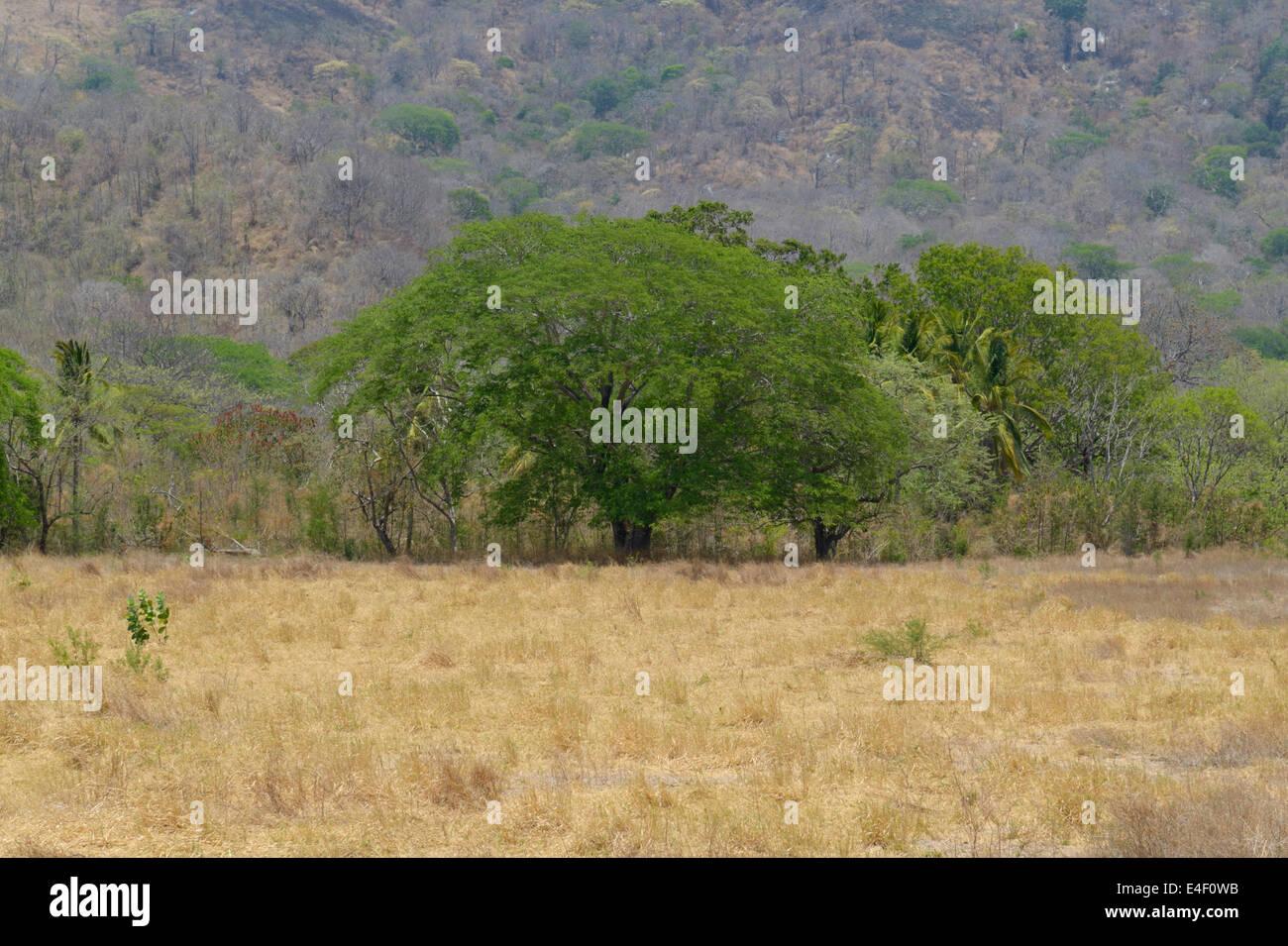 Struttura di Guanacaste, Enterolobium cyclocarpum, provincia di Guanacaste, CR Immagini Stock