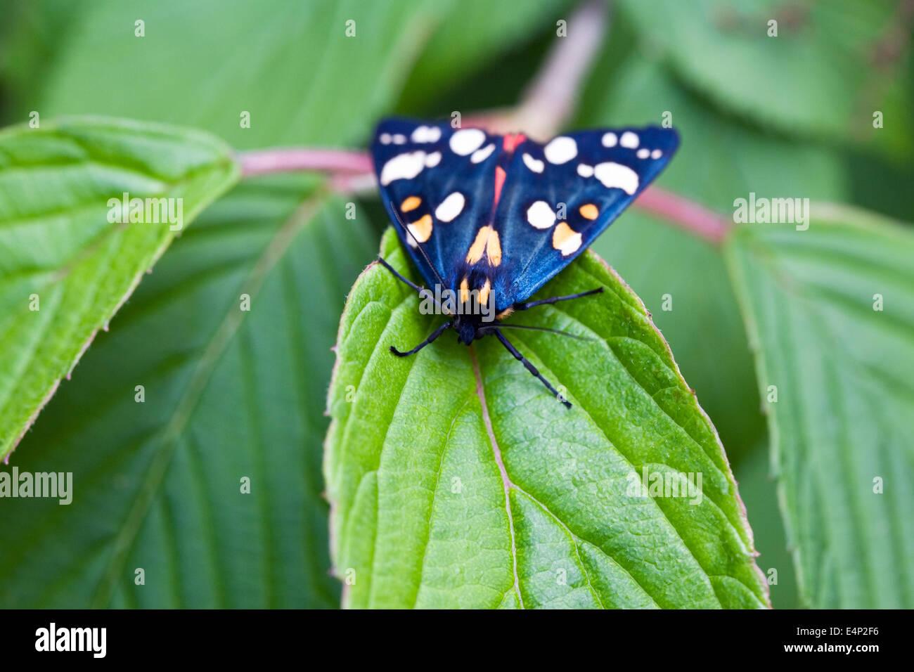 Callimorpha dominula falena su foglie di ortensie. Scarlet Tiger moth. Immagini Stock