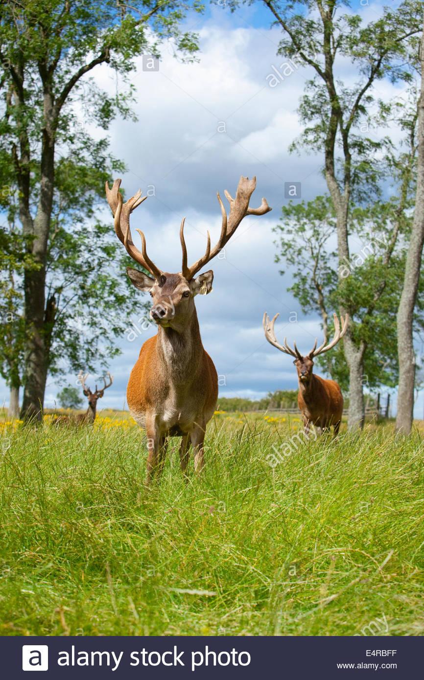 Il cervo rosso allevamento a Beecraigs Country Park vicino a Linlithgow, West Lothian, Scozia. Immagini Stock
