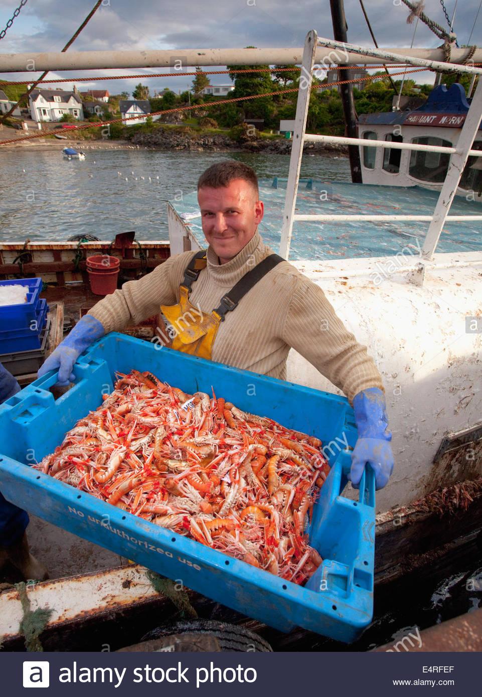 Un pescatore di sbarco la sua cattura di langoustine presso il porto di Carradale, Kintyre, Argyll, Scozia. Immagini Stock