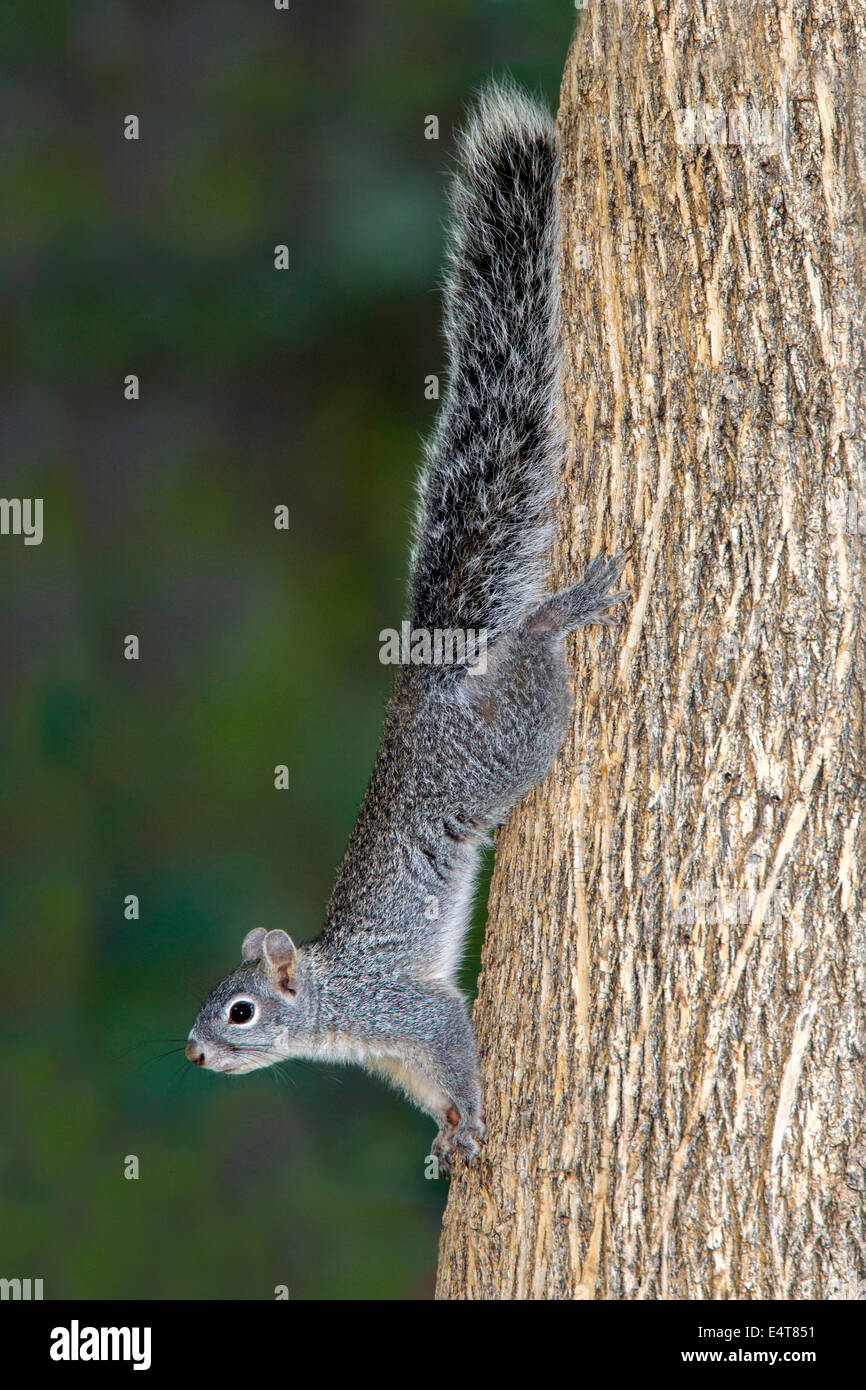 Arizona Gray Squirrel Sciurus arizonensis Madera Canyon, Santa Rita montagne, Arizona, Stati Uniti 11 luglio adulto Immagini Stock