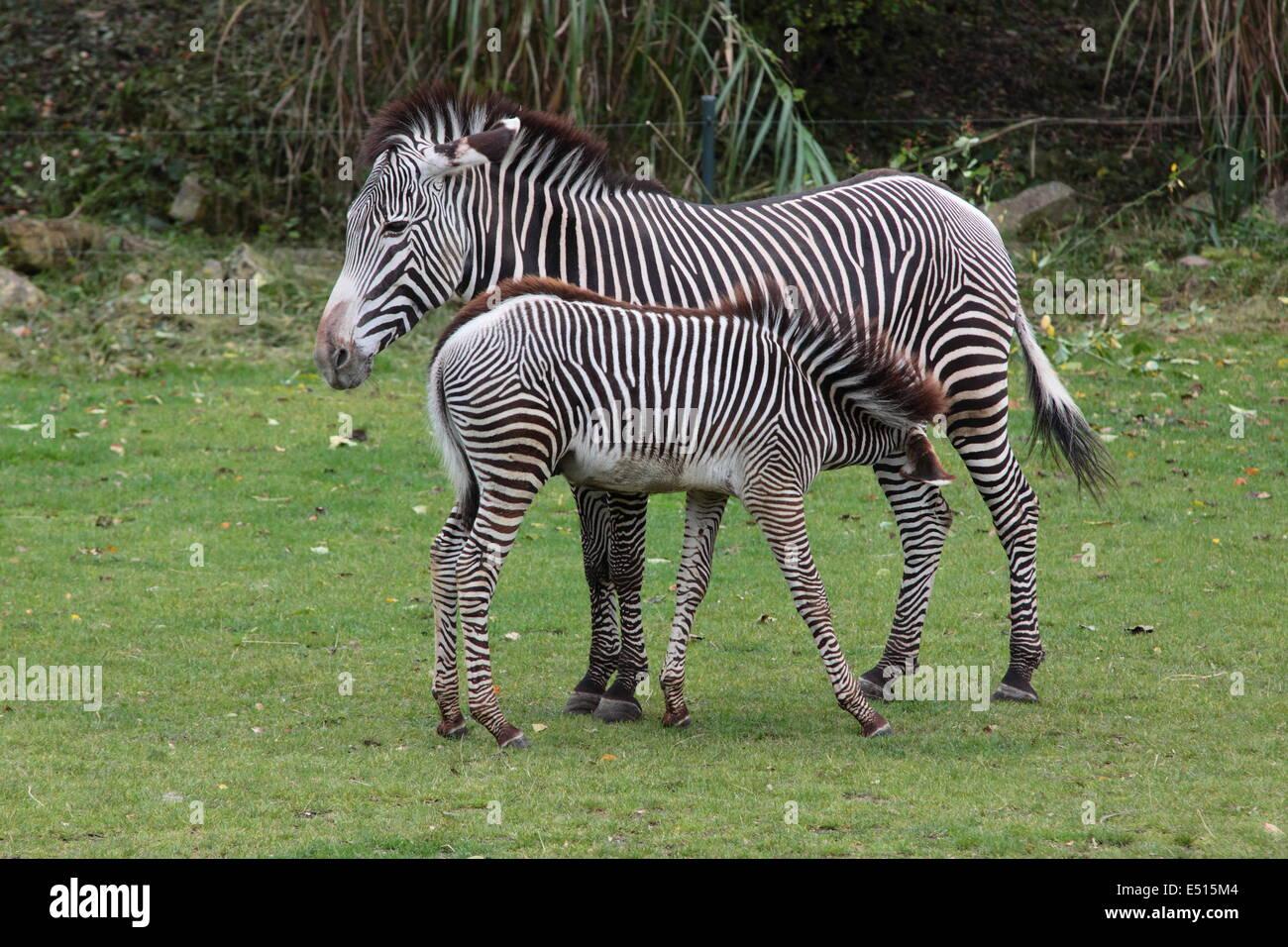 Bere zebra bambino Immagini Stock