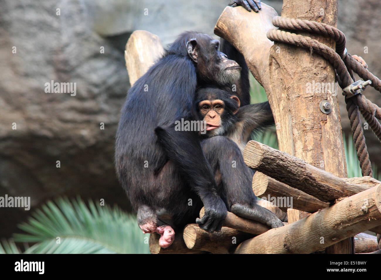Bere il bambino di una scimmia Immagini Stock