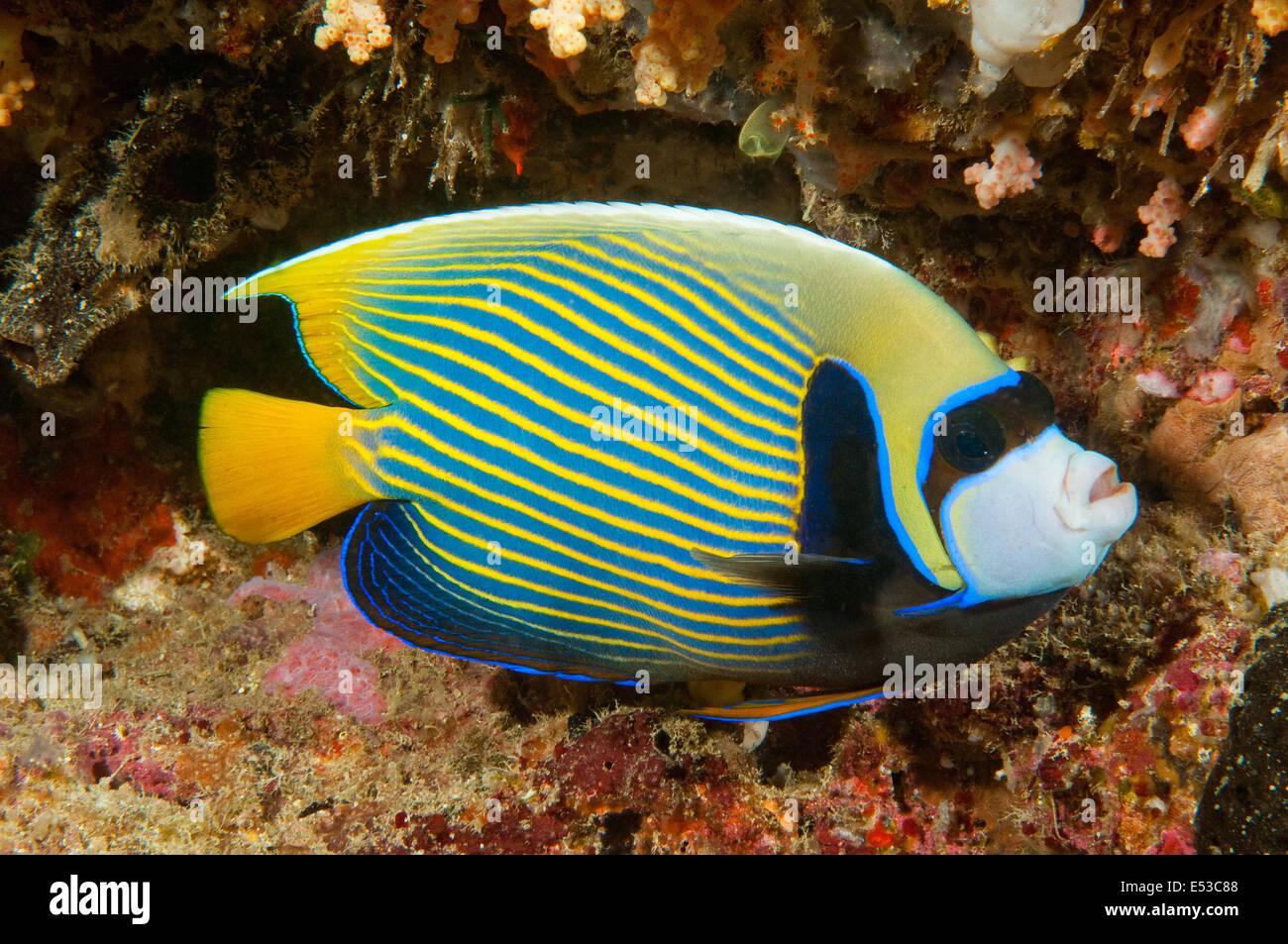 L'imperatore Angelfish, Mabul, Malaysia Immagini Stock