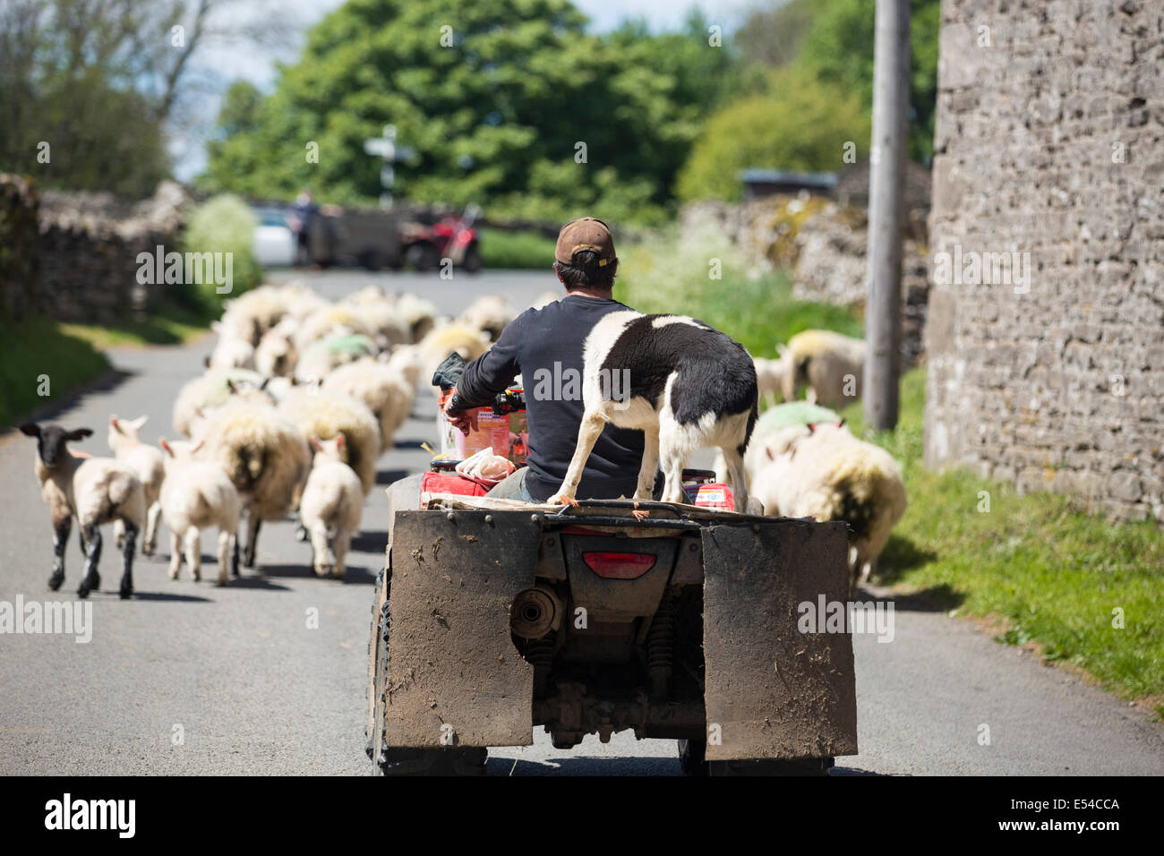 Un agricoltore droving ovini provenienti da una moto quad vicino Scafell, Lake District, UK. Immagini Stock