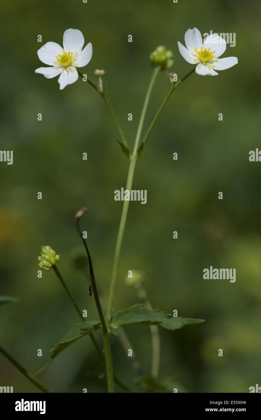 Laurea di primo livello pulsante, ranunculus aconitifolius Immagini Stock