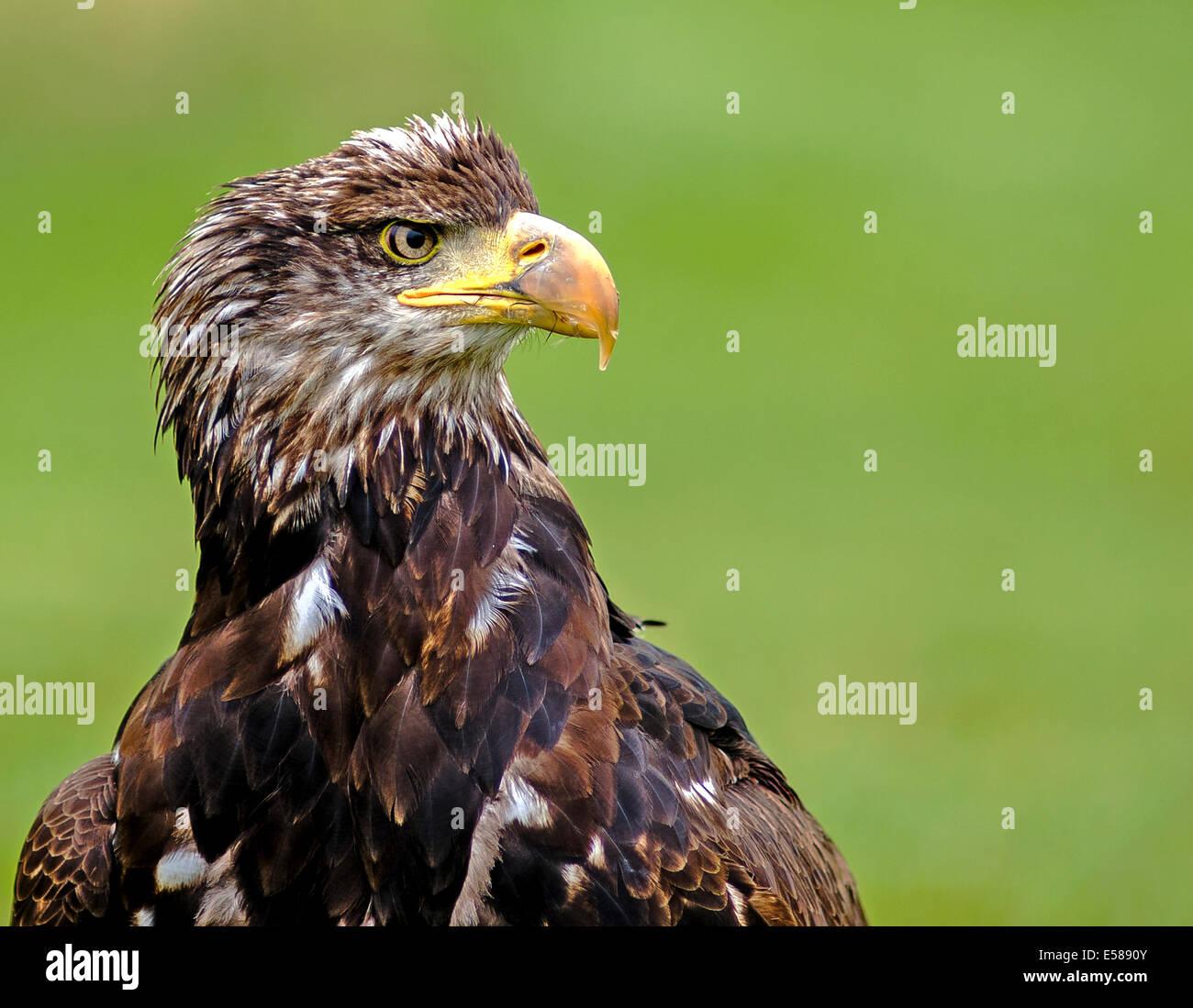 Un white tailed Sea Eagle, Haliaeetus albicilla Foto Stock