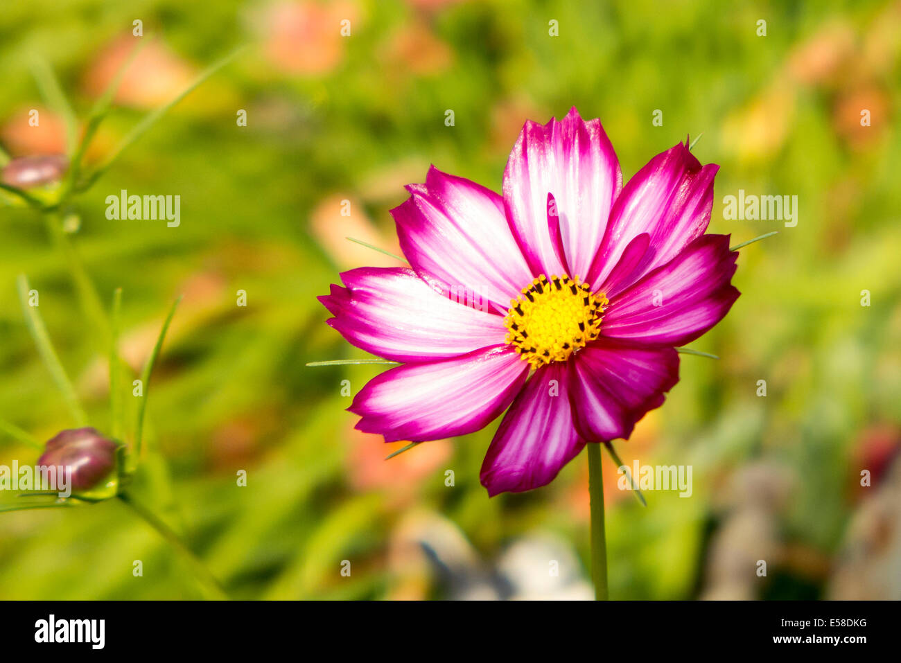 Fiori 8 Petali.Fiore Con Otto Petali Foto Immagine Stock 72101108 Alamy