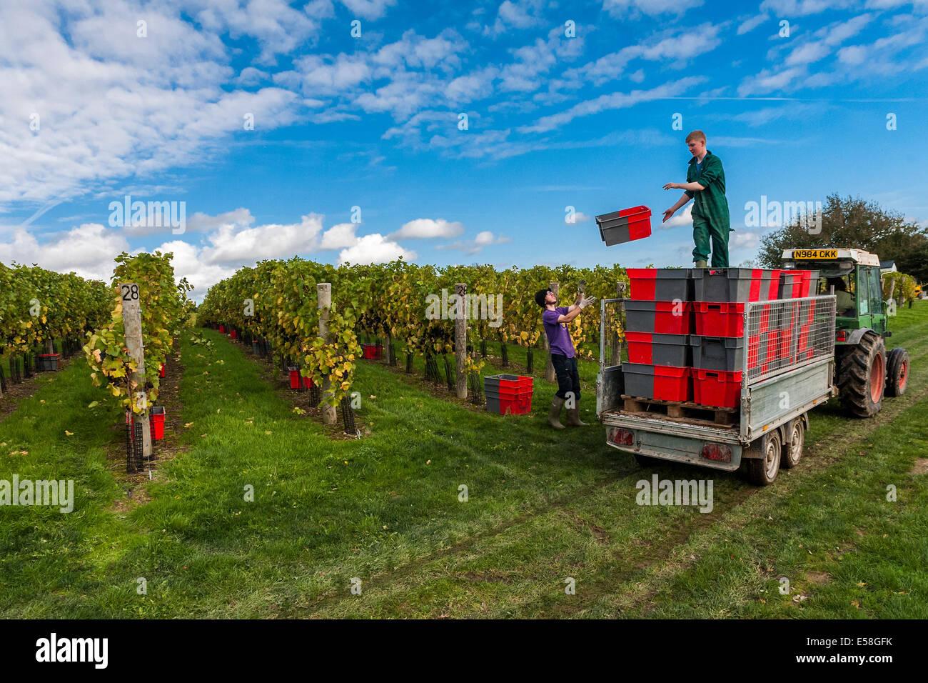 Presso la vigna Redfold nel Sussex il tempo è breve come il raccolto deve essere completato mentre le uve sono Immagini Stock