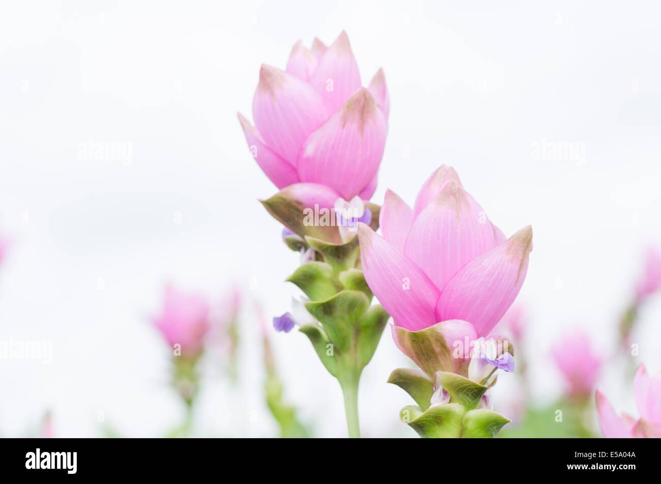 Curcuma alismatifolia o il Siam tulip o Estate tulip nel giardino la natura della Thailandia Immagini Stock