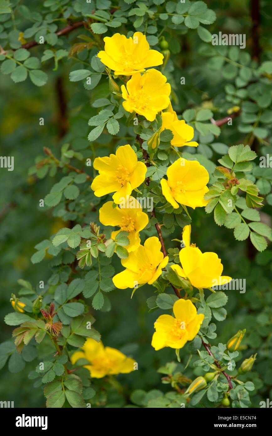 La sig.ra Aitchison la rosa (Rosa ecae), fioritura, Turingia, Germania Immagini Stock