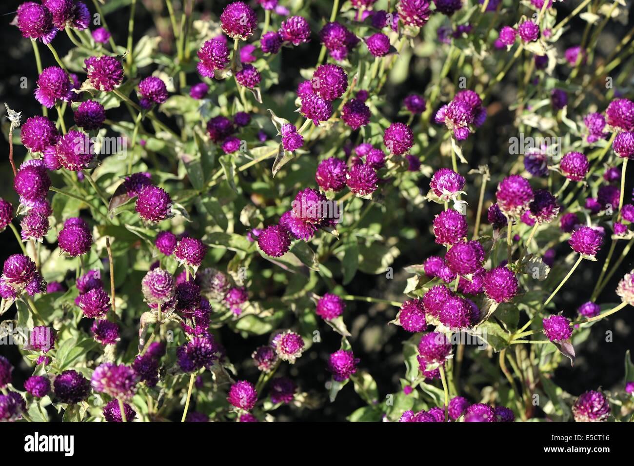 Amaranto a globo (Gomphrena globosa) Fioritura in estate in un giardino Immagini Stock