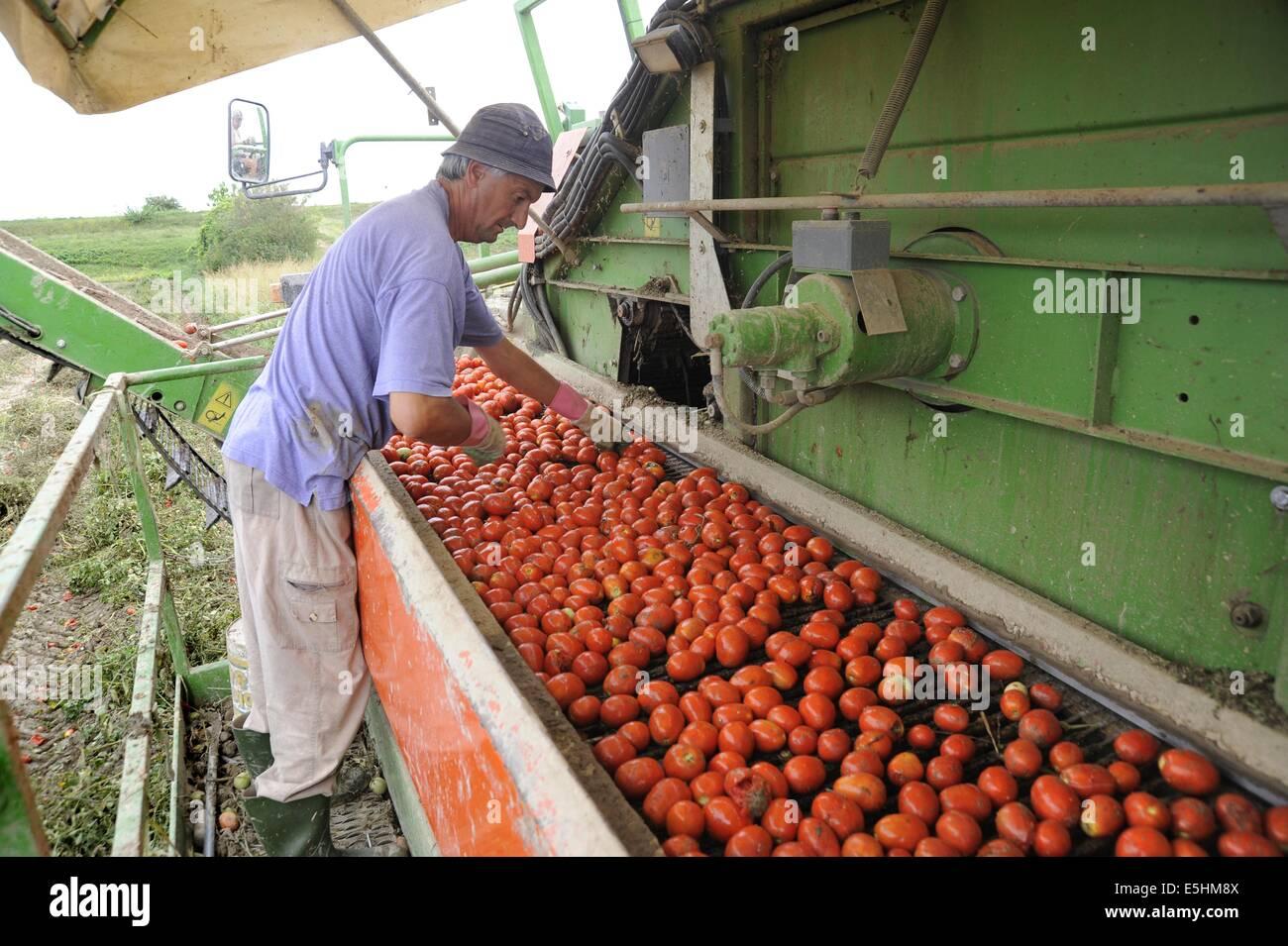 Pomodori raccolta automatizzata in provincia di Piacenza (Italia) Immagini Stock