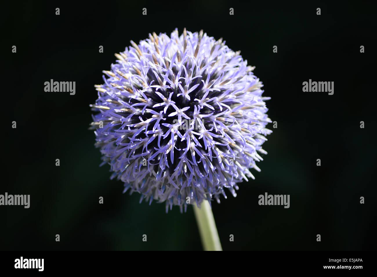 Fiori A Palla Nome.Sfera Di Fiori Immagini Sfera Di Fiori Fotos Stock Alamy