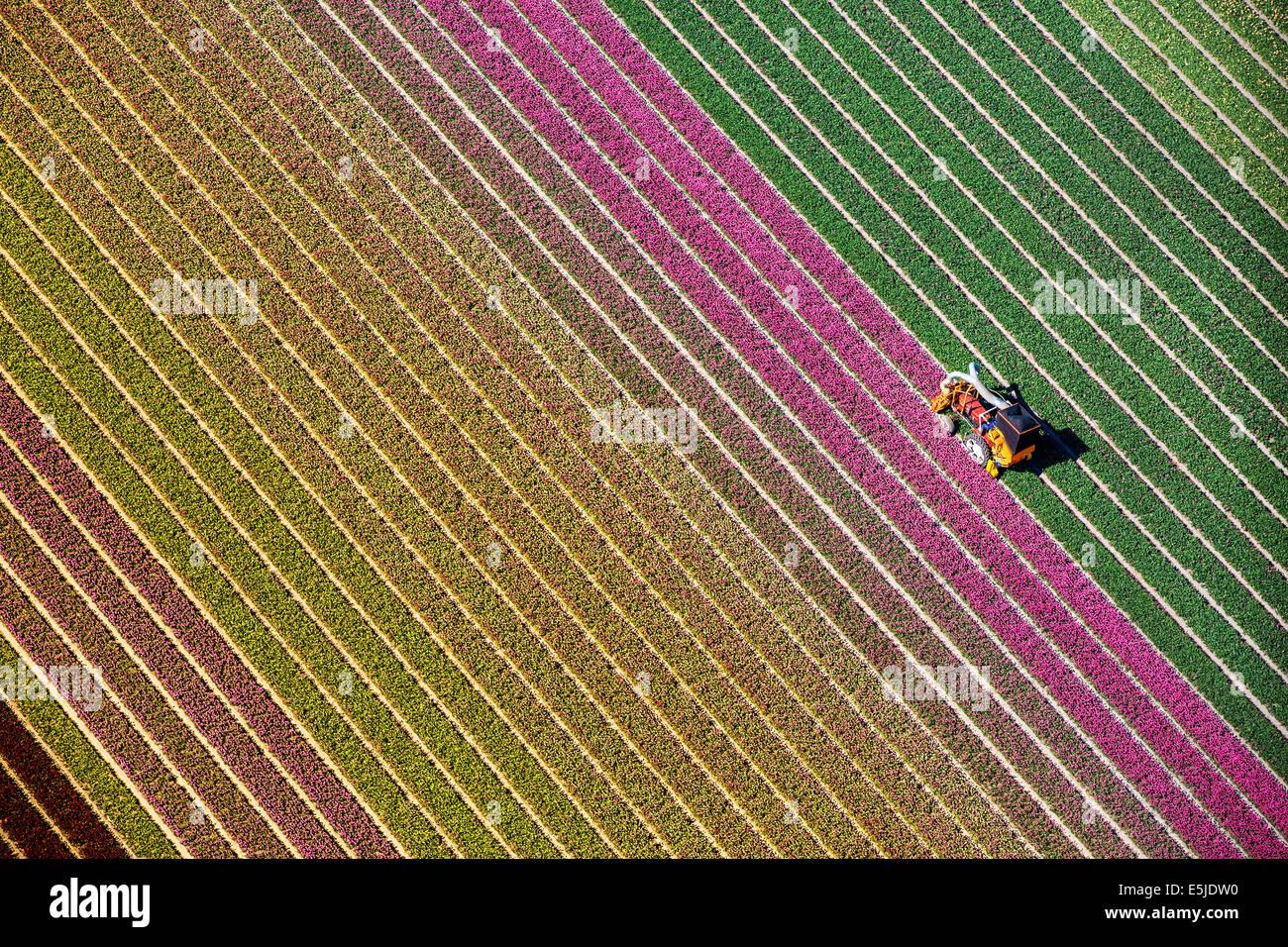 Paesi Bassi, Burgervlotbrug, campi di tulipani, agricoltore topping tulipani. Antenna Immagini Stock