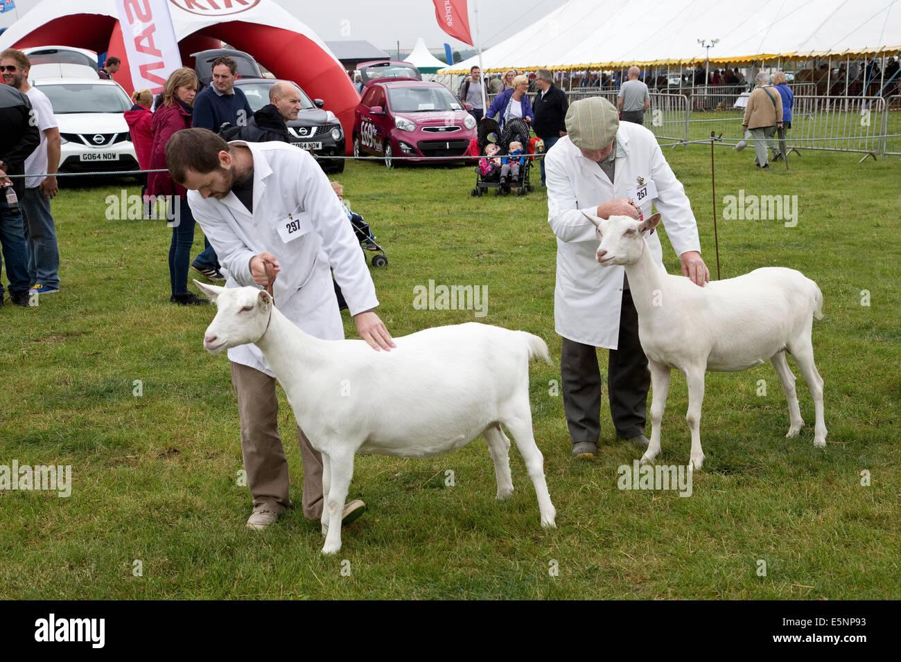 Capra a giudicare la concorrenza in inglese di grandi dimensioni agricole e artigianali visualizza Foto Stock