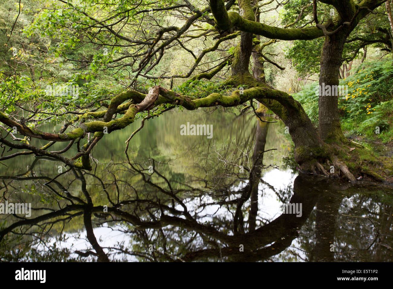 Alberi a sbalzo a Guisecliff Tarn ponte Pateley North Yorkshire, Inghilterra Immagini Stock
