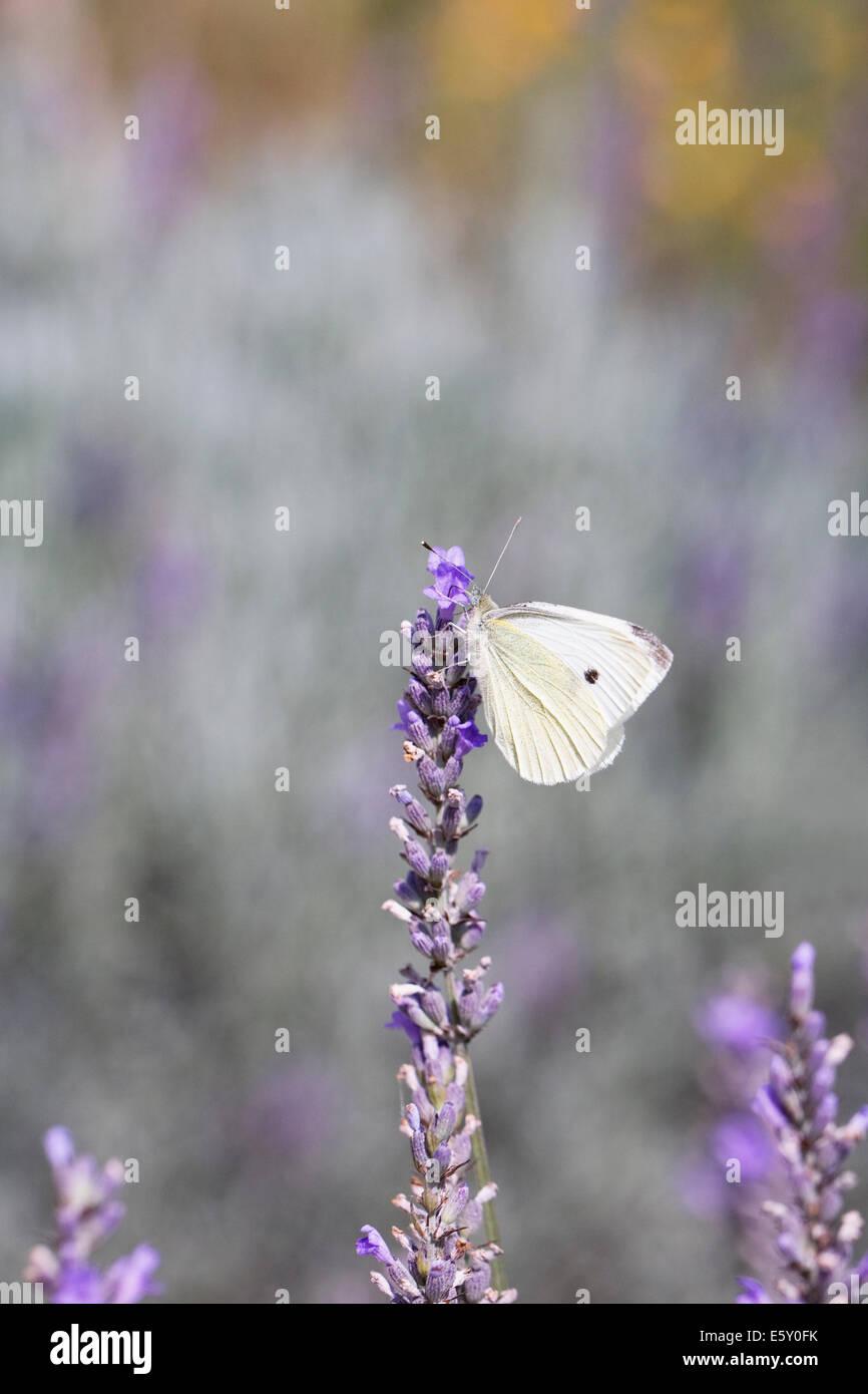 Sarcococca rapae. Piccolo cavolo bianco di alimentazione a farfalla su fiori di lavanda. Immagini Stock