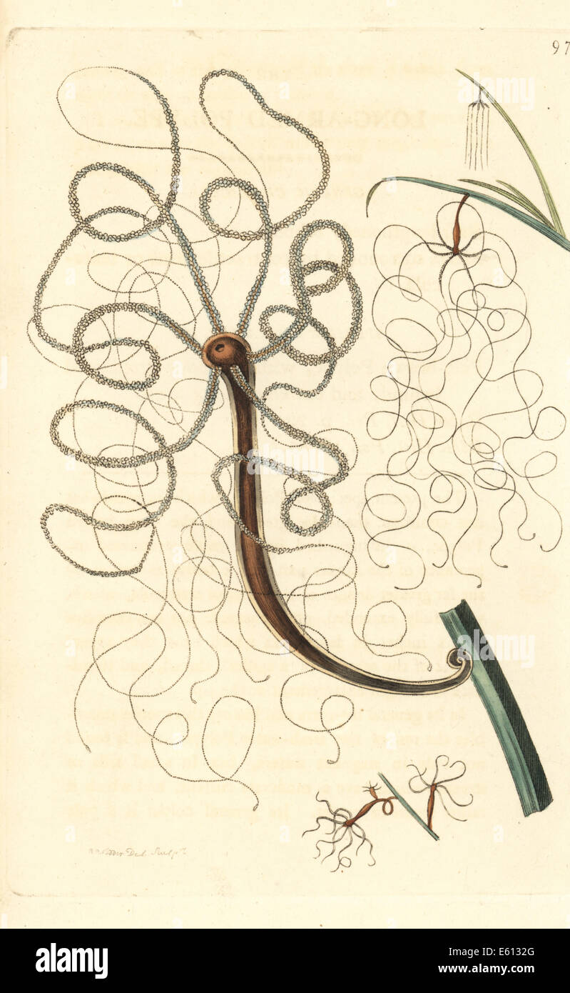 Lungo polype armati, Hydra longimana. Immagini Stock