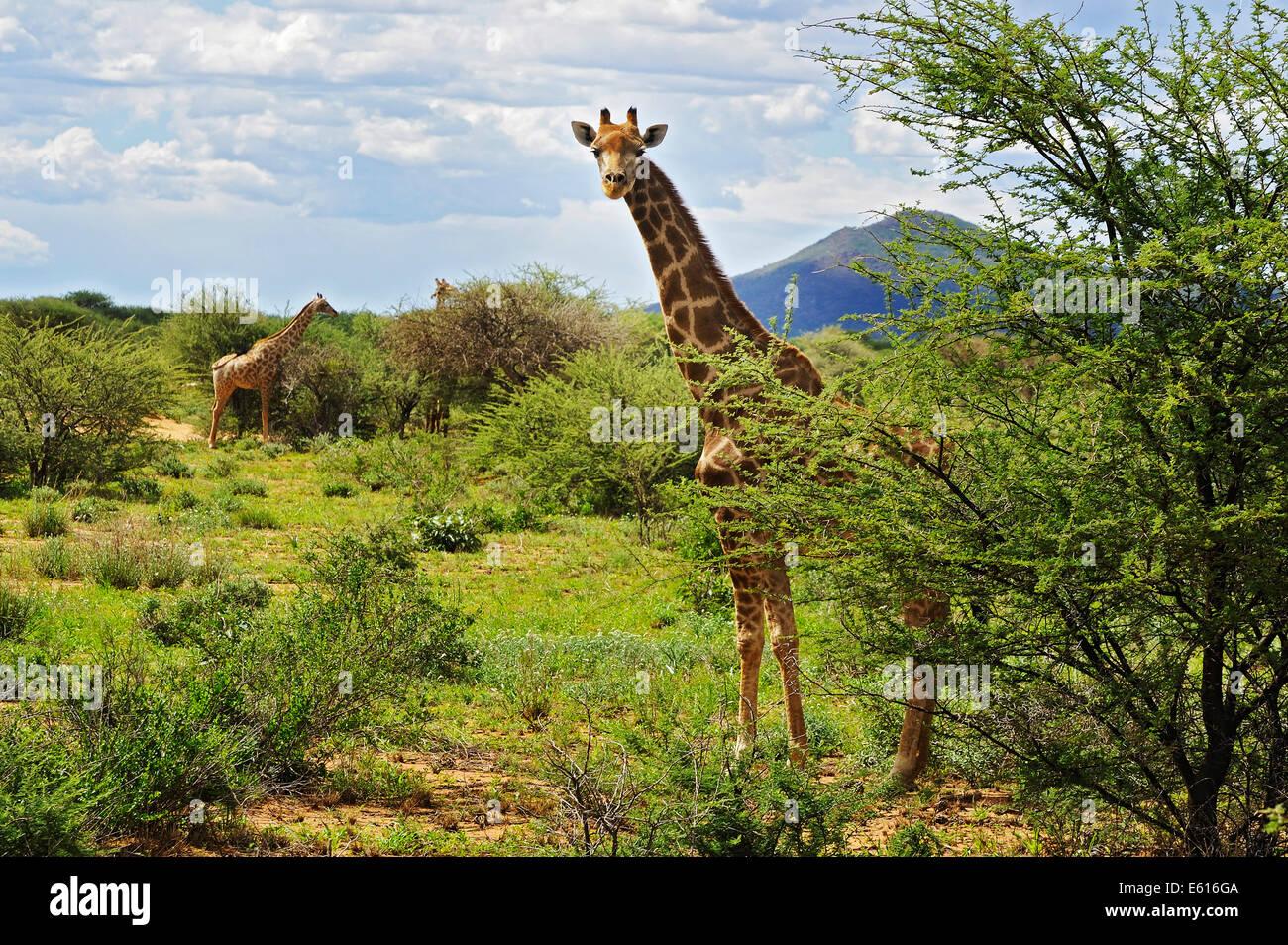 Il Savannah con le giraffe (Giraffa camelopardalis) in Okahandja, Namibia Immagini Stock