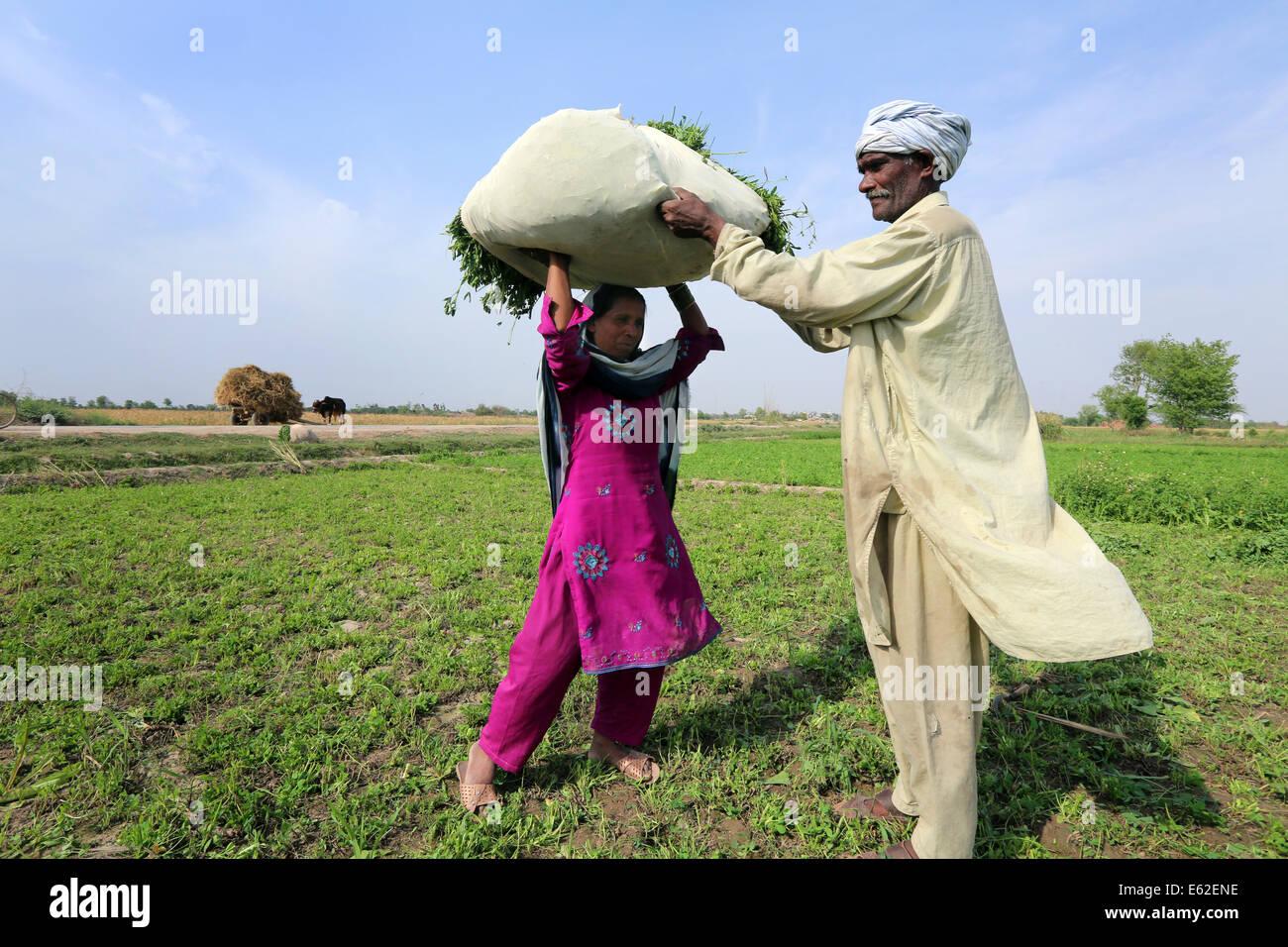 Gli agricoltori portano un sacco di trifoglio raccolto per l'alimentazione dei loro animali, vicino al villaggio Immagini Stock