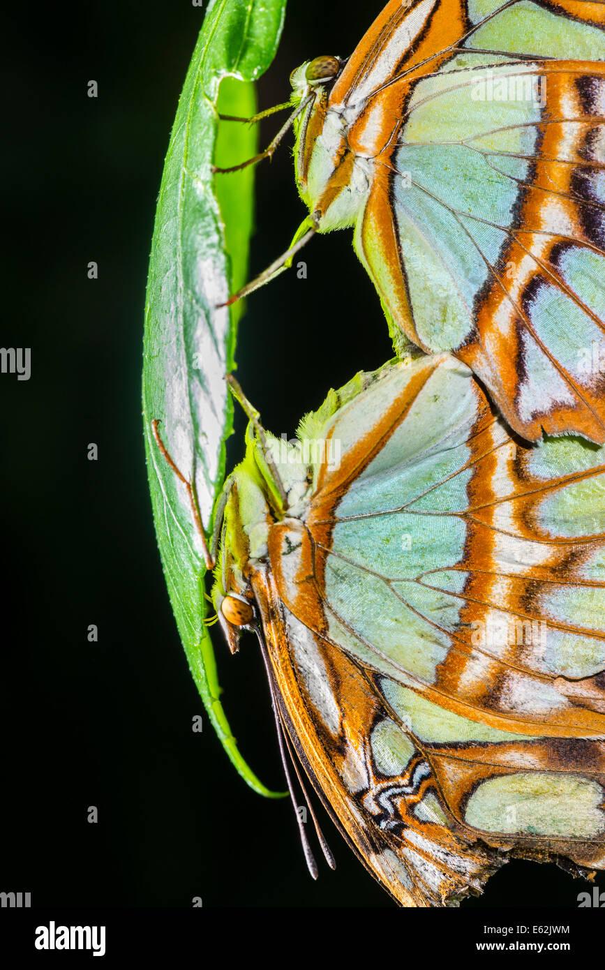 Un primo piano di accoppiamento farfalle Malachite Immagini Stock