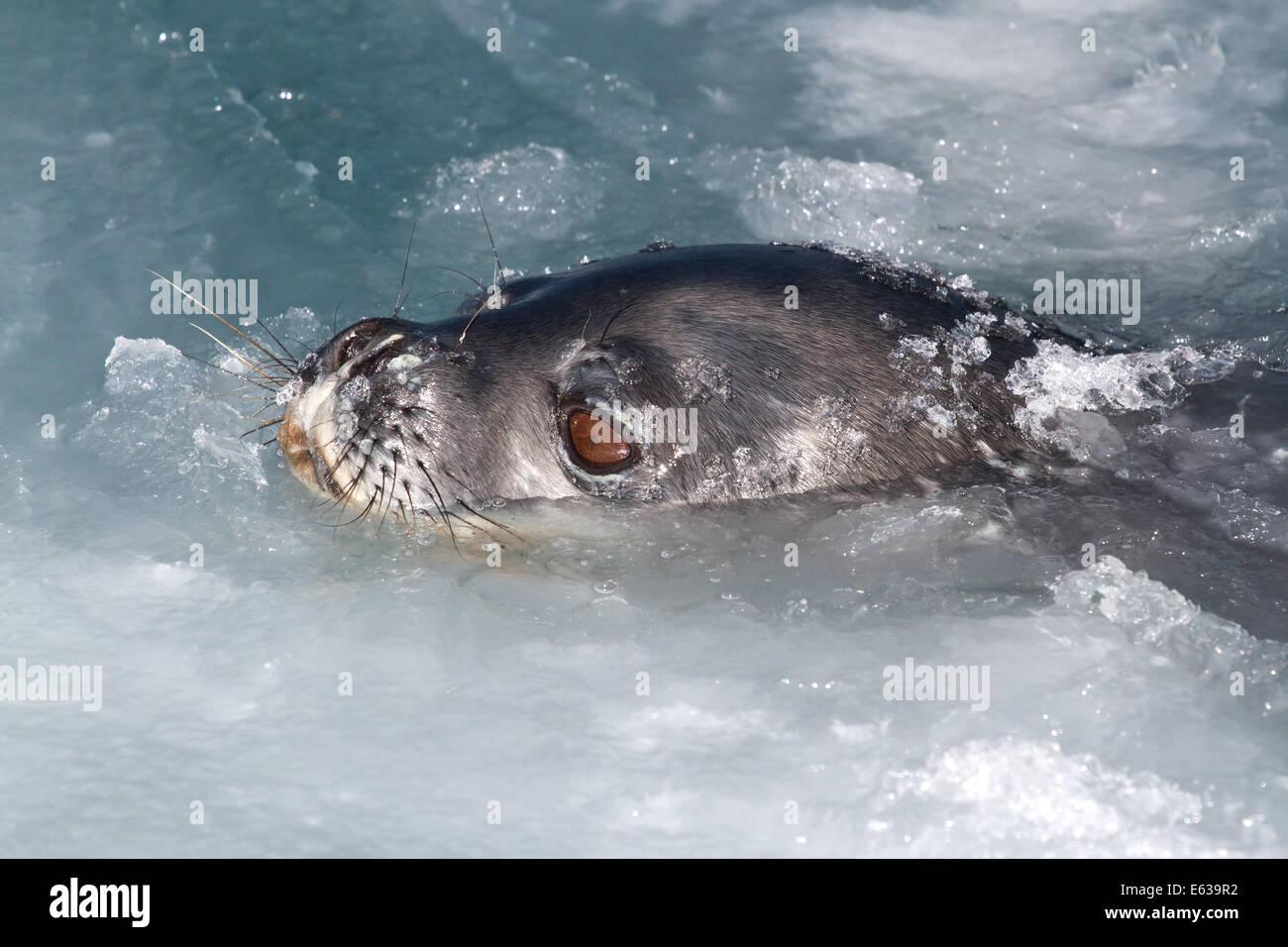 Guarnizione di Weddell testa che fuoriescono dall'acqua e ghiaccio giornata invernale Immagini Stock