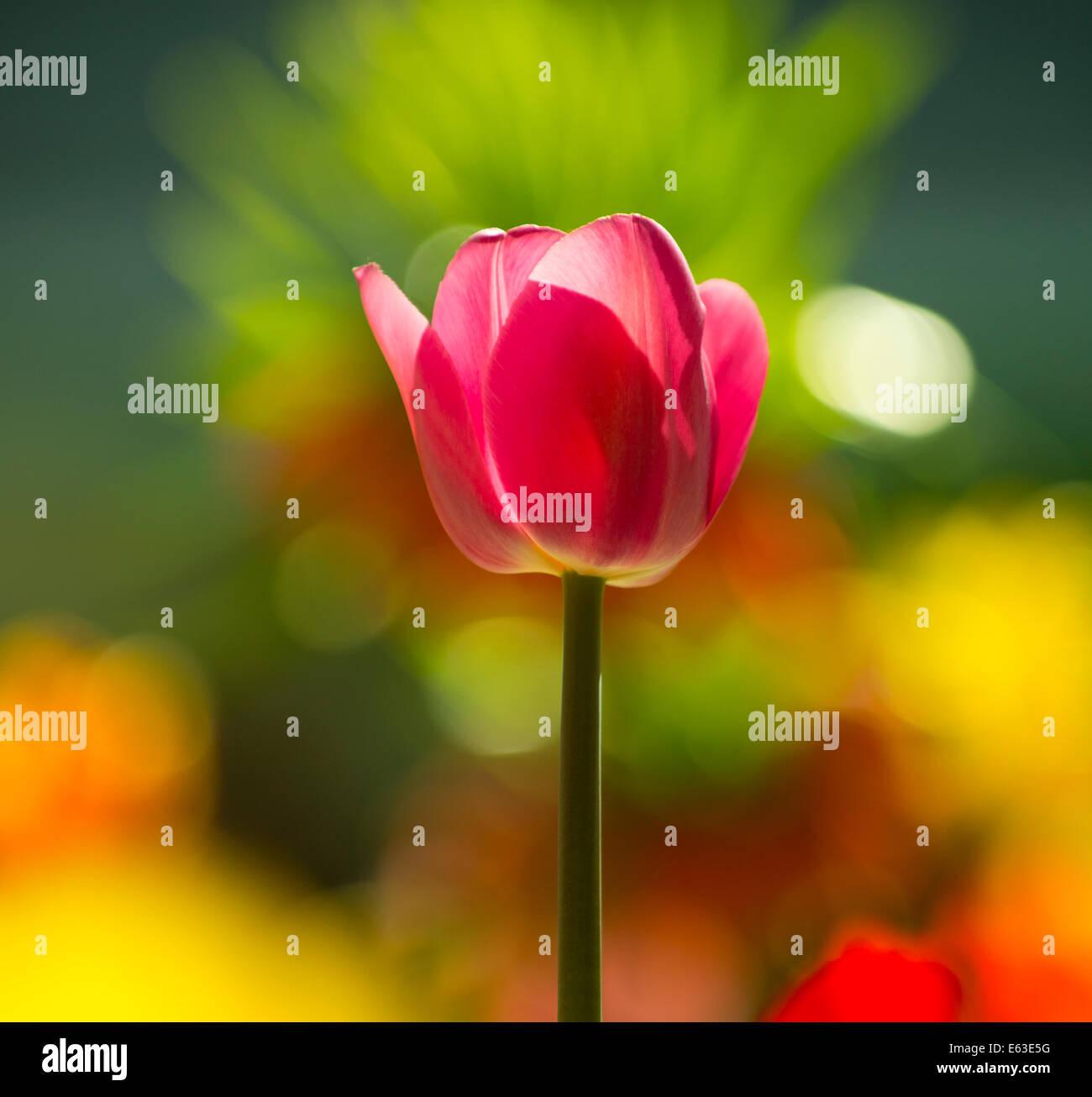 Fiori, Close-up di Rosso retroilluminato Tulip con un sfocato sfondo floreale. Stati Uniti d'America Immagini Stock
