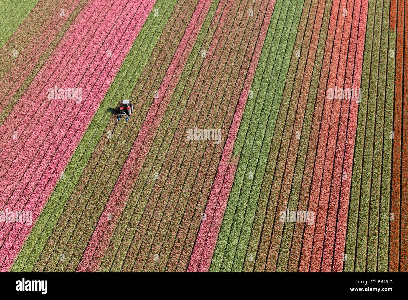 Trattore in campi di tulipani, North Holland, Paesi Bassi Immagini Stock