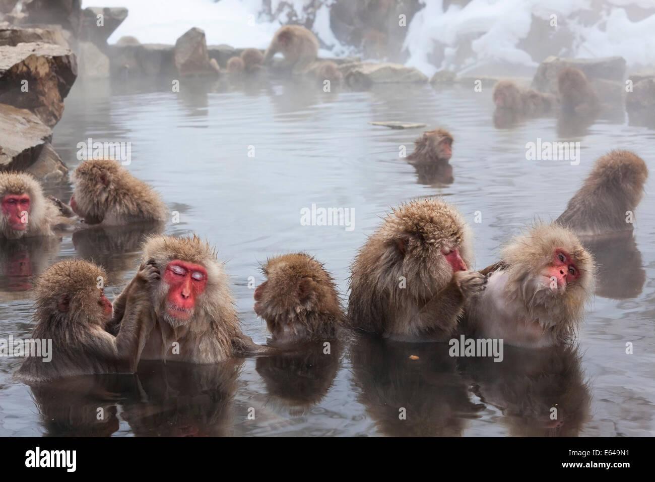 Macaque giapponese (Macaca fuscata)/ Snow monkey, Joshin-etsu National Park, Honshu, Giappone Immagini Stock