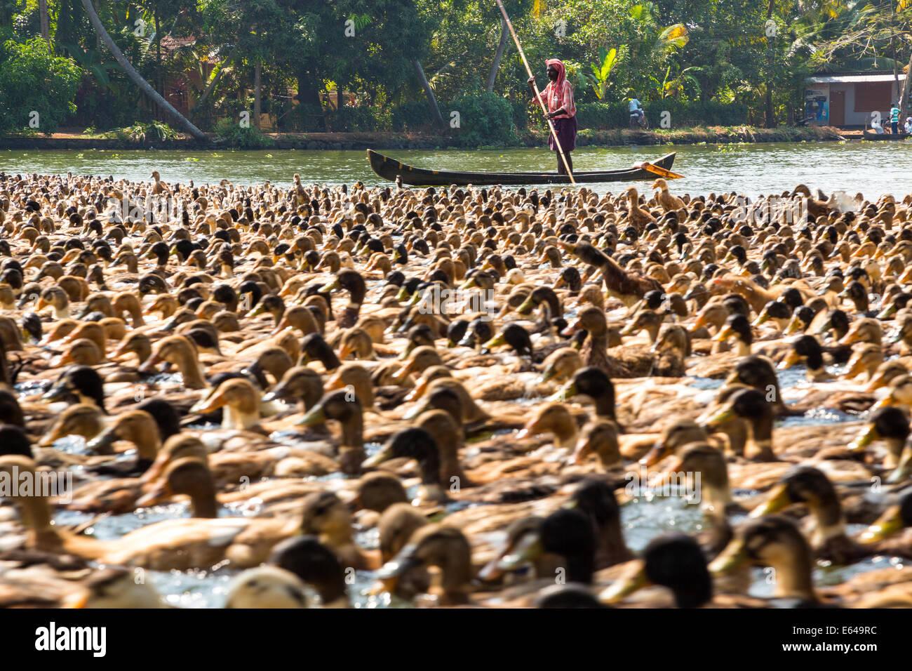 Anatre essendo herded lungo la via navigabile, Kerala backwaters, nr Alleppey, (o Alappuzha), Kerala, India Immagini Stock